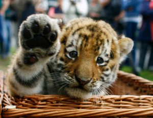 rt_tiger_cub_080827_ssh