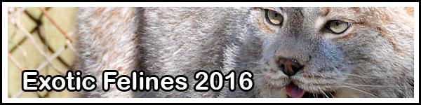 exotic-felines-2016